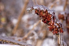 Frozen Sumac Stock Photography