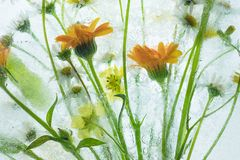 Frozen summer flowers in a highkey backlight. Frozen summer flowers in a highkey light. Yellow green and orange summer  flowers into the ice. Contrast between royalty free stock photos