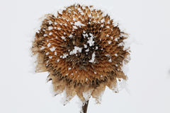Frozen sunflower Stock Photo