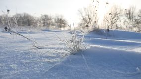 Frozen sunlight grass nature sways in the wind in the winter snow falls beautiful sun glare. Frozen sunlight grass nature sways in wind in the winter snow falls Royalty Free Stock Photos