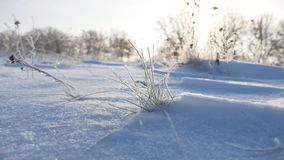 Frozen sunlight grass nature sways in the wind in the winter snow falls beautiful sun glare. Frozen sunlight grass nature sways in wind in the winter snow falls Royalty Free Stock Images