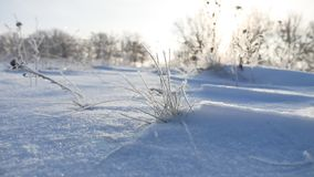 Frozen sunlight grass nature sways in the wind in the winter snow falls beautiful sun glare. Frozen sunlight grass nature sways in wind in the winter snow falls Royalty Free Stock Image