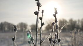 Frozen sunlight grass sways in the wind in the winter snow falls nature beautiful sun glare. Frozen sunlight grass sways in the wind in winter snow falls nature Royalty Free Stock Photos