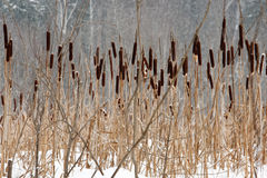 Frozen swamp, with reeds and sedges. Frozen swamp, with  reeds and sedges Royalty Free Stock Images