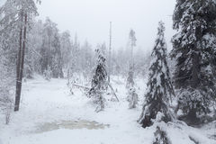 Frozen swamp. In the snowy winter forest. Finnish Lapland Royalty Free Stock Photo