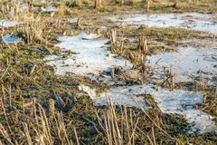 Frozen swamp up close. Closeup of a frozen swampy section of a Dutch National Park during the winter season Royalty Free Stock Photo