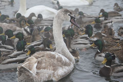 Frozen swans and ducks  in thelake in winter Stock Photography