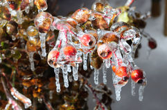 Frozen sweet brier Royalty Free Stock Images