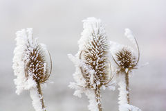 Frozen teasels Stock Photography