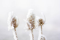 Frozen teasels Royalty Free Stock Photos