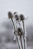 Frozen Thistles. Bunch of thistles covered with frost Royalty Free Stock Image