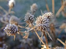 Frozen thistles Royalty Free Stock Photography