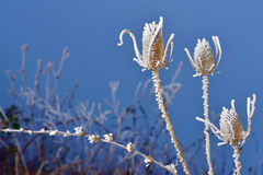 Frozen thistles plant Royalty Free Stock Photo