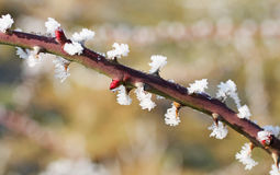 Frozen thorny twig Royalty Free Stock Images
