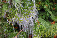 Frozen thuja Stock Photos