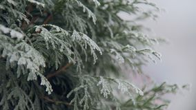 Frozen thuja tree in winter day in park, close-up view stock footage