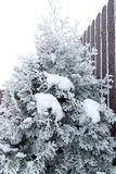 Frozen thuja on a very cold winter morning Royalty Free Stock Images