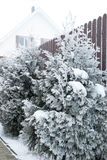 Frozen thuja on a very cold winter morning Stock Image