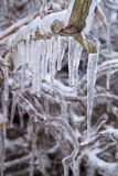 Frozen Tree. A tangle of branches covered in icicles royalty free stock photo