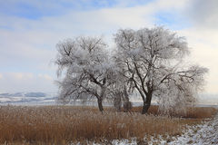 Frozen tree. Image of a frozen tree in a cloudy winter day in a field of thatch Royalty Free Stock Photography