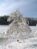Frozen Tree. Next to frozen lake and forest in the background Stock Photography