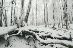 Frozen tree with big roots in winter forest Royalty Free Stock Images