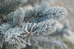 Frozen Tree Branch. A frozen tree branch in december Royalty Free Stock Images