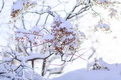 Budding tree damaged by frost. Frozen tree branch in winter. stock photos