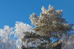 Frozen tree branches stock photo