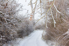 Frozen tree branches overlooking forest path in winter. Frozen tree branches with some colorful cones (in focus) hanging over forest path in winter with trees Royalty Free Stock Photo