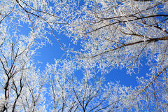 Frozen tree branches under blue sky Stock Image
