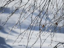 Frozen tree branches. Winter fragmentary landscape. NFrost, wind, winter Stock Photos