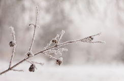 Frozen tree brunch Royalty Free Stock Photo