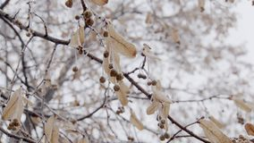 Frozen tree buds on branch are trembling in wind in winter day, close-up view stock video footage