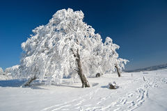 Frozen tree. On a cold winter day in the Black Forest Royalty Free Stock Photos