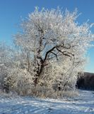 Frozen tree. Tree covered in ice and snow royalty free stock photos