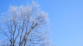 Frozen tree crown on blue sky background stock video
