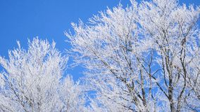 Frozen tree crown on blue sky background stock footage