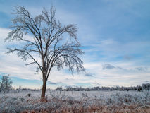 Frozen Tree. Tree in a field covered in ice after the devastating January 2007 North American Ice Storm Royalty Free Stock Photos