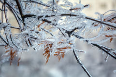 Frozen Tree after Icy Rain Royalty Free Stock Images
