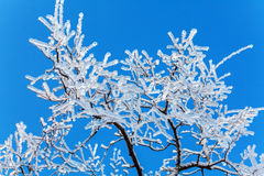 Frozen Tree after Icy Rain Royalty Free Stock Image