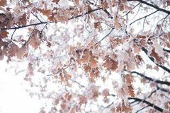 Free Frozen Tree Leaf Royalty Free Stock Photos - 100571518