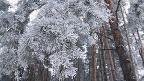Frozen tree needles. Closeup view of frozen pine needle. Beautiful frozen tree needles in winter day stock video footage