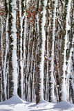 Frozen tree trunks Stock Images