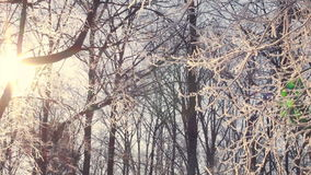 Frozen tree. Winter forest. Sun shine through tree branches covered with snow. Winter tree covered with snow. Sunrise in winter forest. Frost on tree branches stock video
