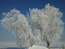 Frozen trees Royalty Free Stock Photos