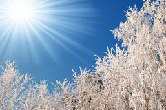 Frozen trees. Rime in the crown of the tree Stock Image