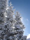Frozen Trees. Snow laden trees on a clear blue sky freezing day in Winter Park Stock Photos