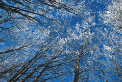 Frozen trees, Stock Photography