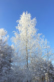 Frozen trees in cold day in the snowy winter forest Stock Photos
